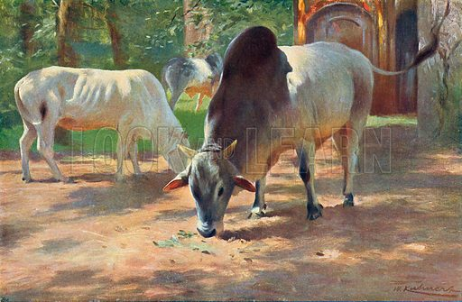 Indian Humped Cattle. Illustration for the Harmsworth Natural History (1911).