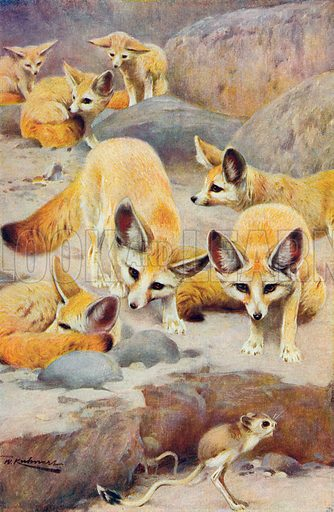 Fennecs and Jerboa. Illustration for the Harmsworth Natural History (1911).