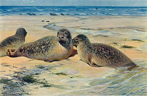 The Common Seal. Illustration for the Harmsworth Natural History (1911).