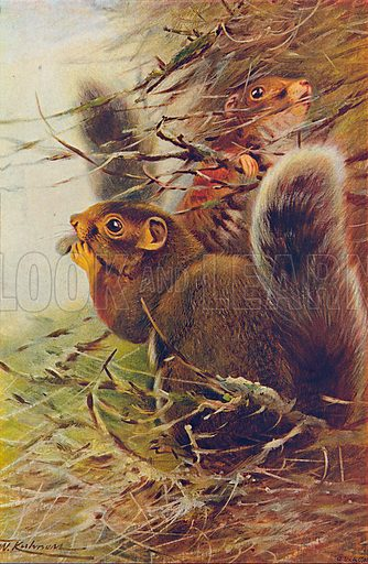 Paul's Squirrel. Illustration for the Harmsworth Natural History (1911).