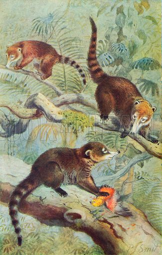 White-Nosed Coatis. Illustration for the Harmsworth Natural History (1911).