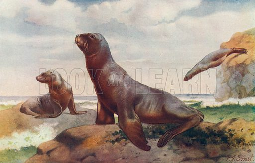 Hooker's Sea Lion. Illustration for the Harmsworth Natural History (1911).