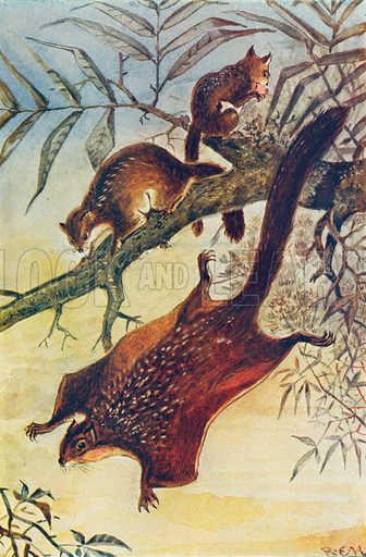 Flying Squirrels. Illustration for the Harmsworth Natural History (1911).
