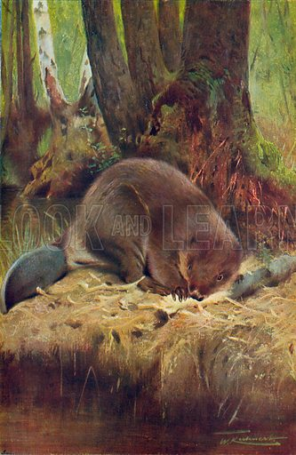 The Beaver. Illustration for the Harmsworth Natural History (1911).