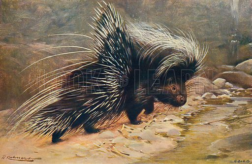 The Common Porcupine. Illustration for the Harmsworth Natural History (1911).