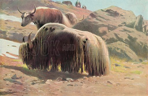 Domesticated Yak. Illustration for the Harmsworth Natural History (1911).