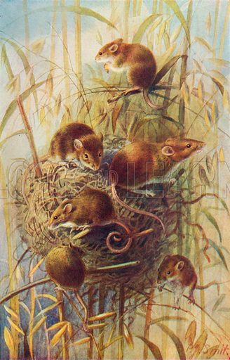 Harvest Mice. Illustration for the Harmsworth Natural History (1911).