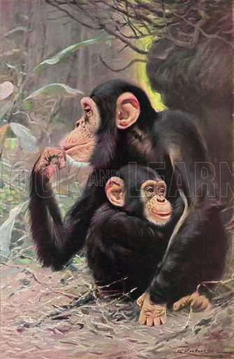 The Man-Like Apes Chimpanzee and Young. Illustration for the Harmsworth Natural History (1911).