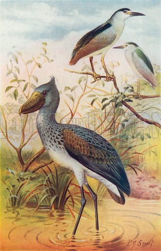 Night-Herons and Whale-Headed Stork. Illustration for the Harmsworth Natural History (1911).