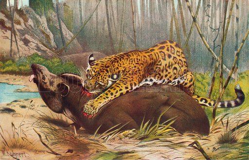 Jaguar Attacking a Tapir. Illustration for the Harmsworth Natural History (1911).