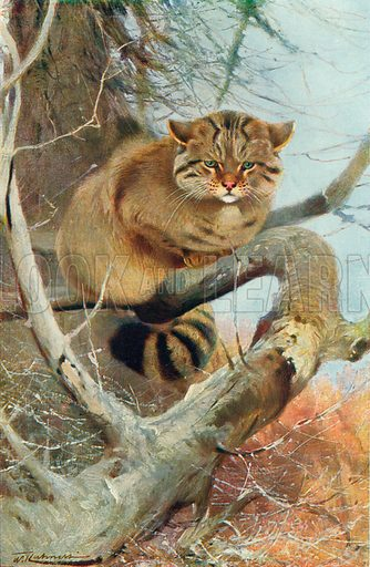 The Wild Cat, A Denizen of the Scottish Highlands. Illustration for the Harmsworth Natural History (1911).