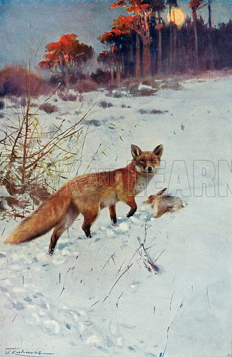Fox. Illustration for the Harmsworth Natural History (1911).