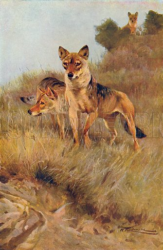 Wolves. Illustration for the Harmsworth Natural History (1911).