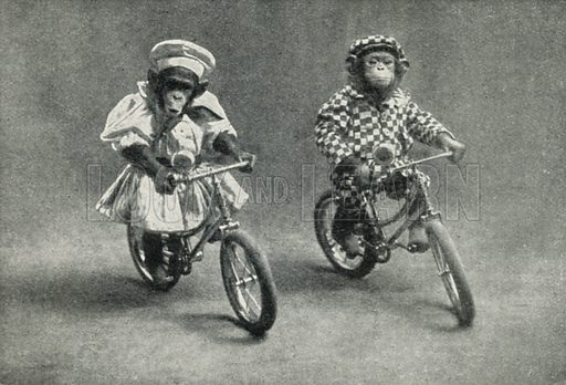 A Triumph of Animal Training: Two Monkeys Riding Bicycles. Illustration for the Harmsworth Natural History (1911).