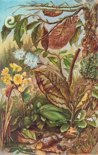 The Protective Colouring of Insects. Illustration for the Harmsworth Natural History (1911).