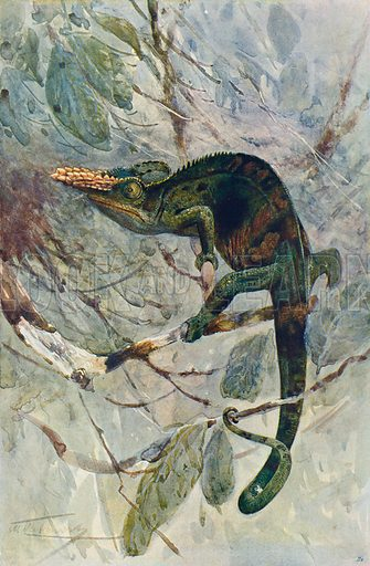 The Chamaeleon. Illustration for the Harmsworth Natural History (1911).