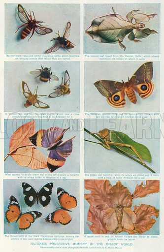 Nature's Protective Mimicry in the Insect World. Illustration for the Harmsworth Natural History (1911).