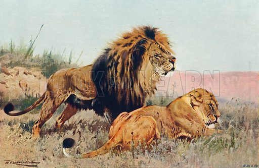 Lion and Lioness Sighting Prey in the Distance. Illustration for the Harmsworth Natural History (1911).