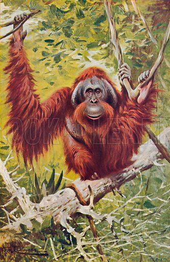 The Orang-Utan. Illustration for the Harmsworth Natural History (1911).