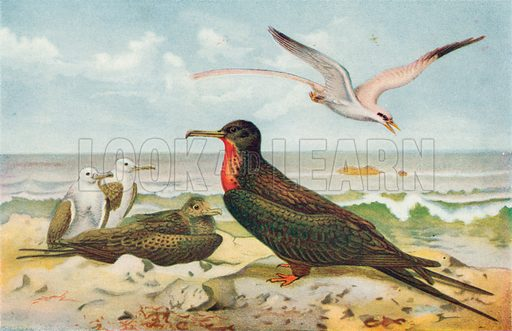 Frigate and Tropic Birds. Illustration for the Harmsworth Natural History (1911).