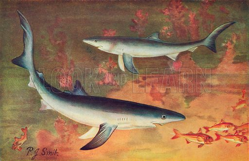 Blue Sharks. Illustration for the Harmsworth Natural History (1911).