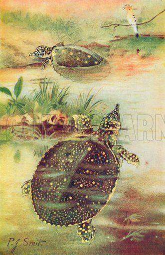 Soft Tortoises. Illustration for the Harmsworth Natural History (1911).