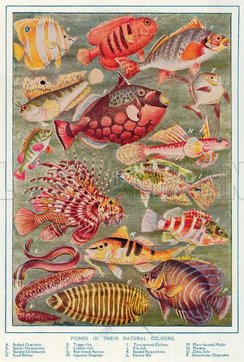 Fishes in their Natural Colours. Illustration for the Harmsworth Natural History (1911).