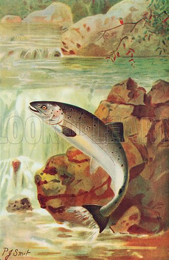 Salmon. Illustration for the Harmsworth Natural History (1911).