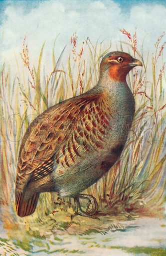 Grey Partridge. Illustration for the Harmsworth Natural History (1911).