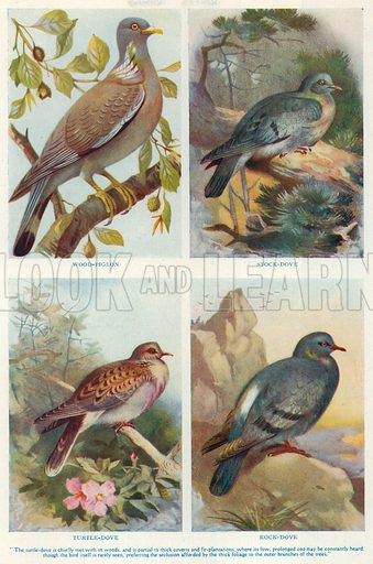 Wood-Pigeon. Stock-Dove. Turtle-Dove. Rock-Dove. Illustration for the Harmsworth Natural History (1911).