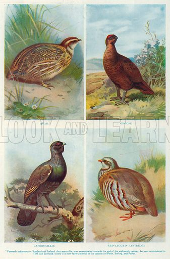 Quail. Grouse. Capercaillie. Red-Legged Partridge. Illustration for the Harmsworth Natural History (1911).