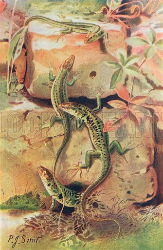 Wall-Lizards. Illustration for the Harmsworth Natural History (1911).