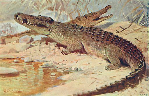Nile Crocodile. Illustration for the Harmsworth Natural History (1911).