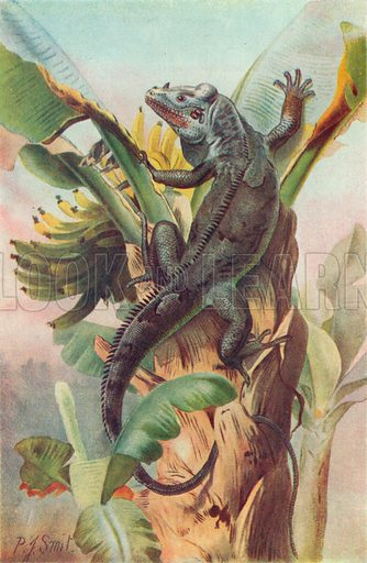 Black-Tailed Iguana. Illustration for the Harmsworth Natural History (1911).