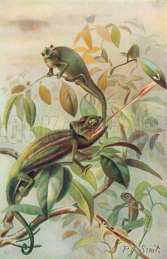 Chamaeleons. Illustration for the Harmsworth Natural History (1911).