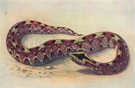 Nose-Horned Viper. Illustration for the Harmsworth Natural History (1911).