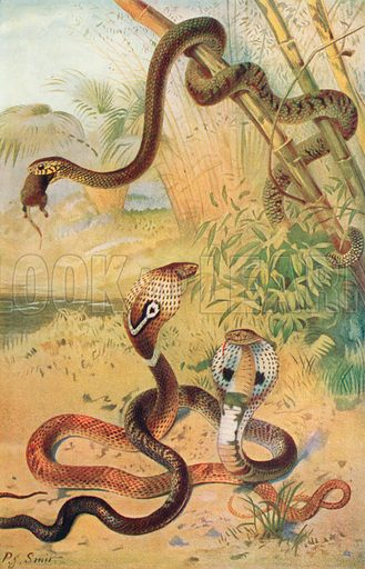 Rat-Snake and Cobras. Illustration for the Harmsworth Natural History (1911).