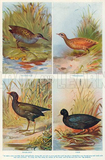 Water-Rail. Corncrake. Moor-Hen. Coot. Illustration for the Harmsworth Natural History (1911).