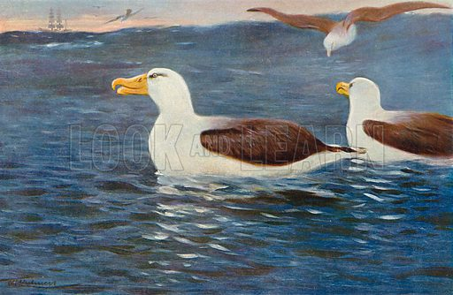 Albatrosses. Illustration for the Harmsworth Natural History (1911).