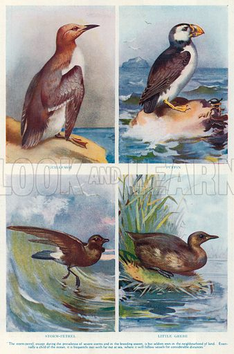 Guillemot. Puffin. Storm-Petrel. Little Grebe. Illustration for the Harmsworth Natural History (1911).