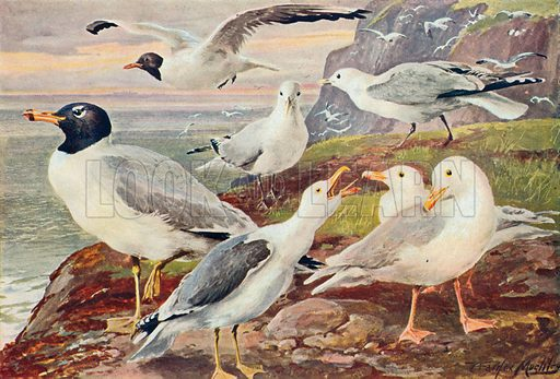 Gulls. Illustration for the Harmsworth Natural History (1911).