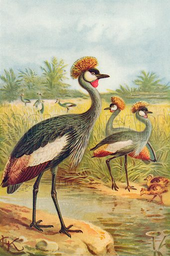 East African Balearic Crane. Illustration for the Harmsworth Natural History (1911).