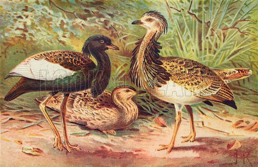 Florican and Macqueen's Bustard. Illustration for the Harmsworth Natural History (1911).