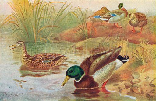 Wild Ducks, or Mallards. Illustration for the Harmsworth Natural History (1911).
