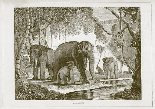 Elephants. Illustration for Wonders of the World (D Omer Smith, c 1860).