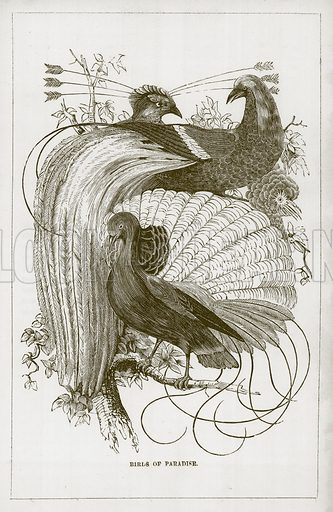 Birds of Paradise. Illustration for Wonders of the World (D Omer Smith, c 1860).