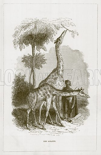 The Giraffe. Illustration for Wonders of the World (D Omer Smith, c 1860).