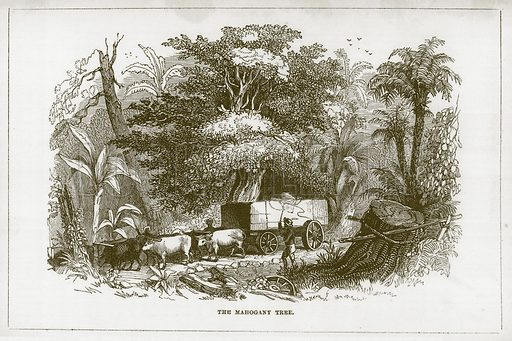 The Mahogany Tree. Illustration for Wonders of the World (D Omer Smith, c 1860).