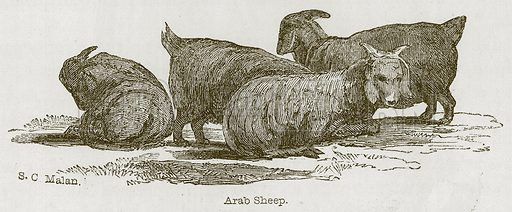 Arab Sheep. Illustration for Discoveries in the Ruins of Nineveh and Babylon by Austen Layard (John Murray, 1853).