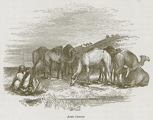 Arab Camels. Illustration for Discoveries in the Ruins of Nineveh and Babylon by Austen Layard (John Murray, 1853).